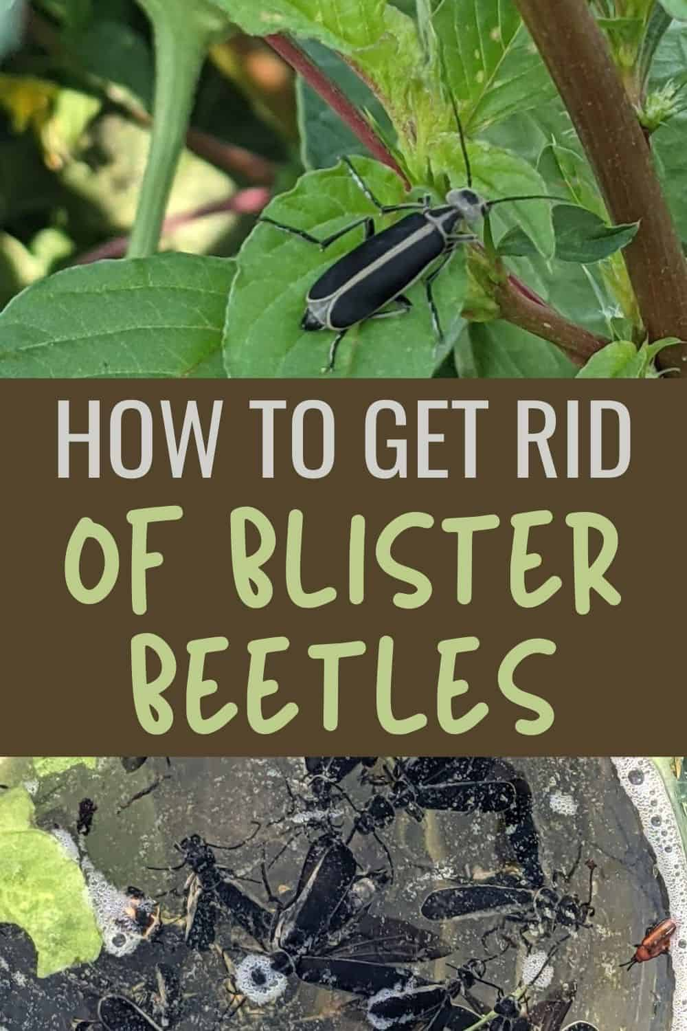 How to get rid of blister beetles