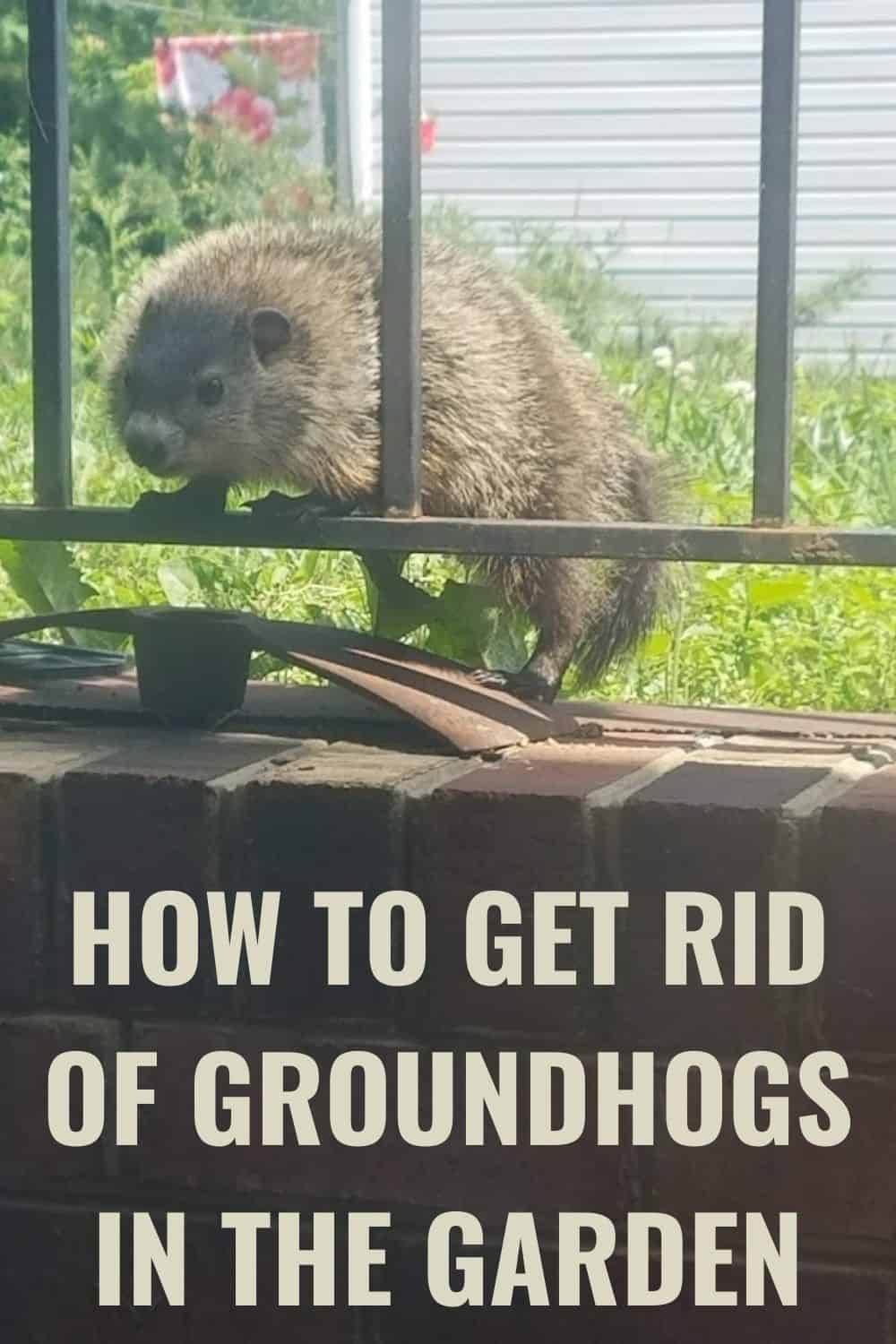 how to get rid of groundhogs in the garden