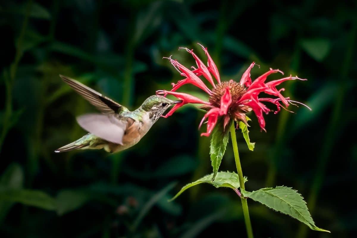 hummingbird drinking from a bee balm flower