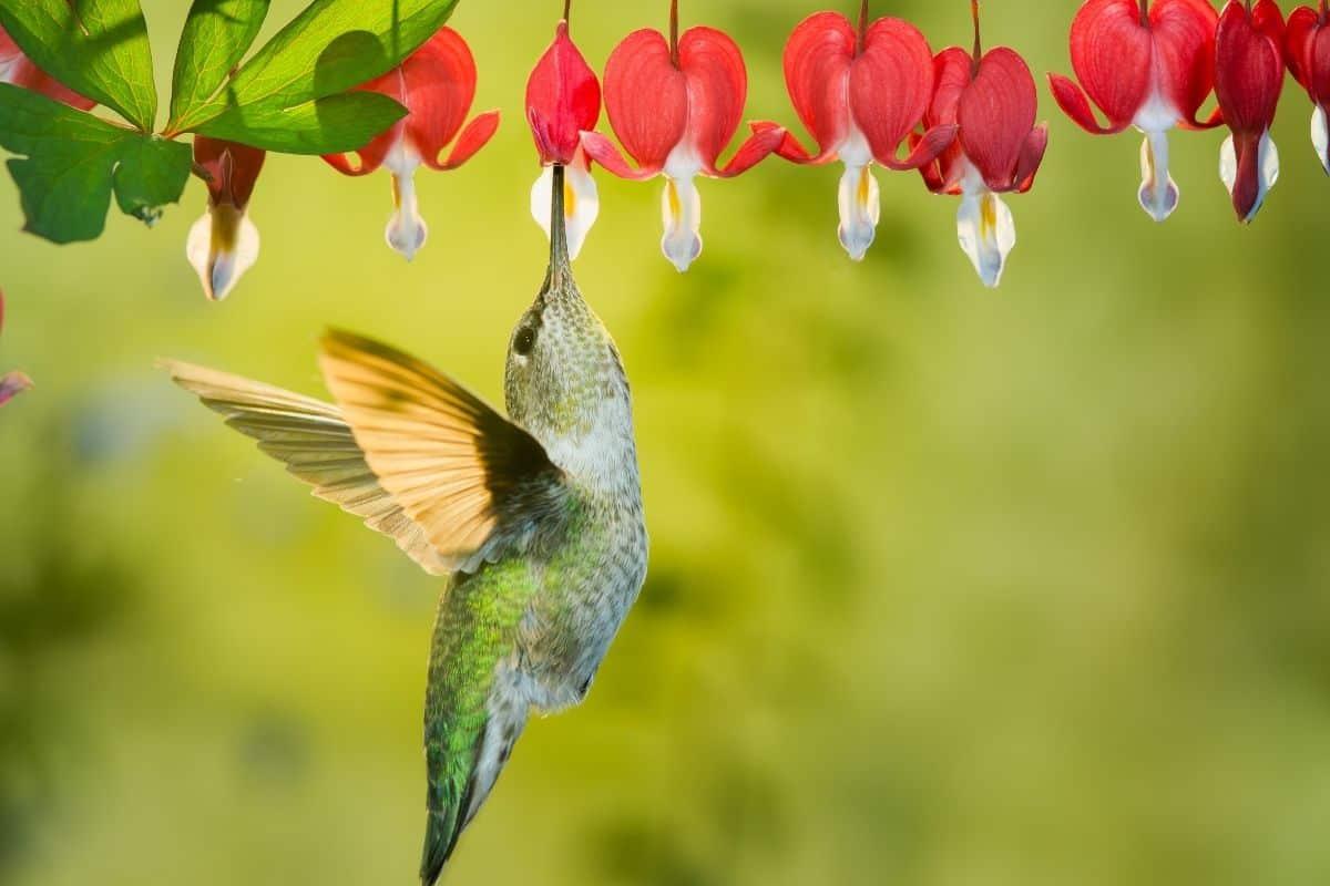 a hummingbird drinking bleeding heart nectar