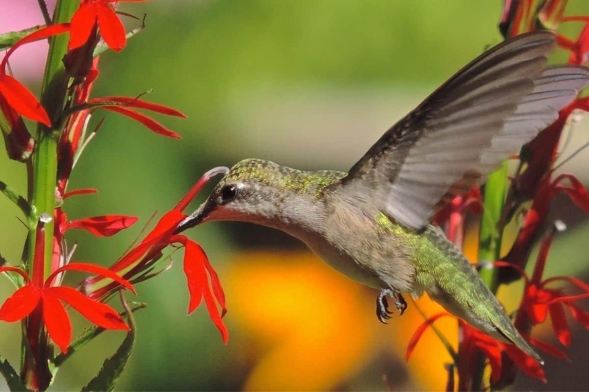 hummingbird drinking from a bright red cardinal flower