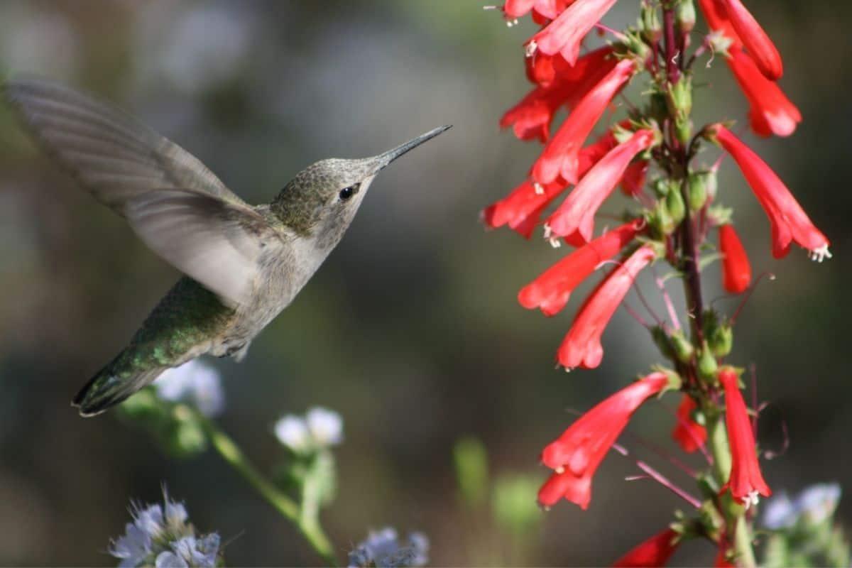 hummingbird next to a coral honeysuckle