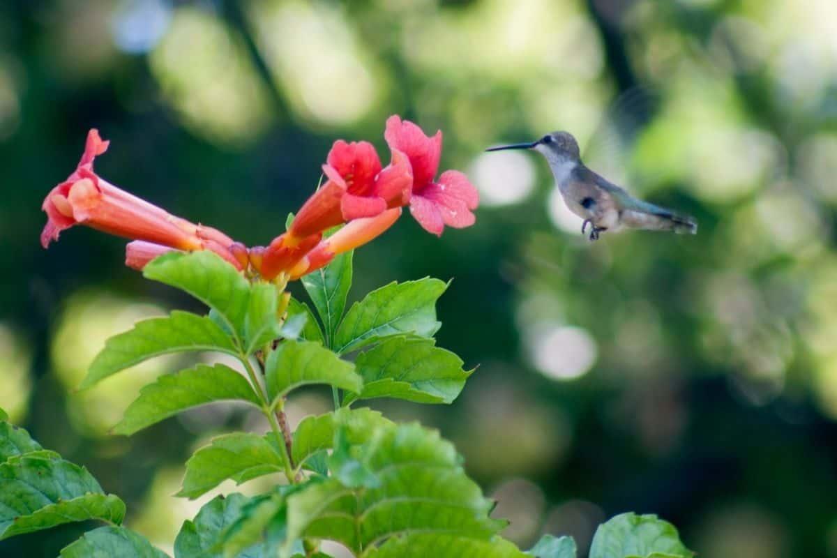 hummingbird visiting a trumpet vine