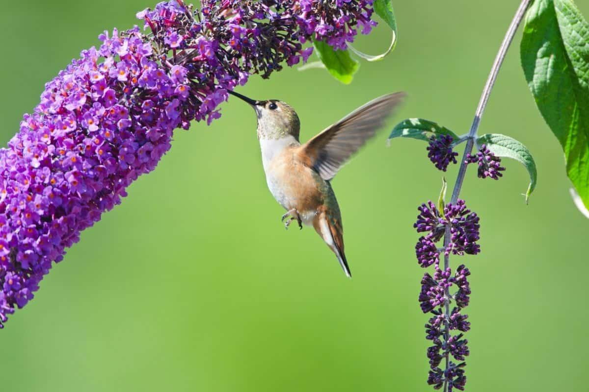 hummingbird drinking from a butterfly bush