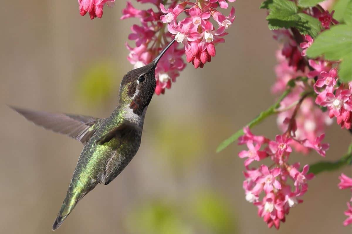 hummingbird drinking from red flowering currant
