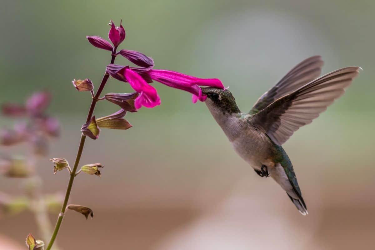 a hummingbird drinking salvia nectar