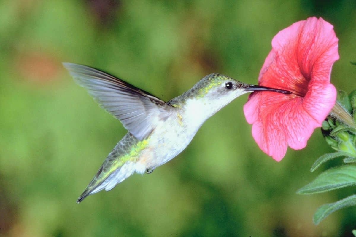 hummingbird feeding on a petunia flower
