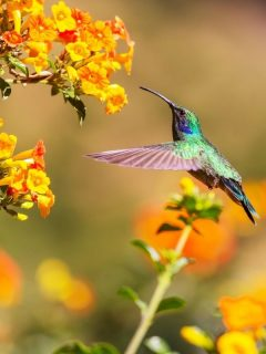 hummingbird and orange flowers