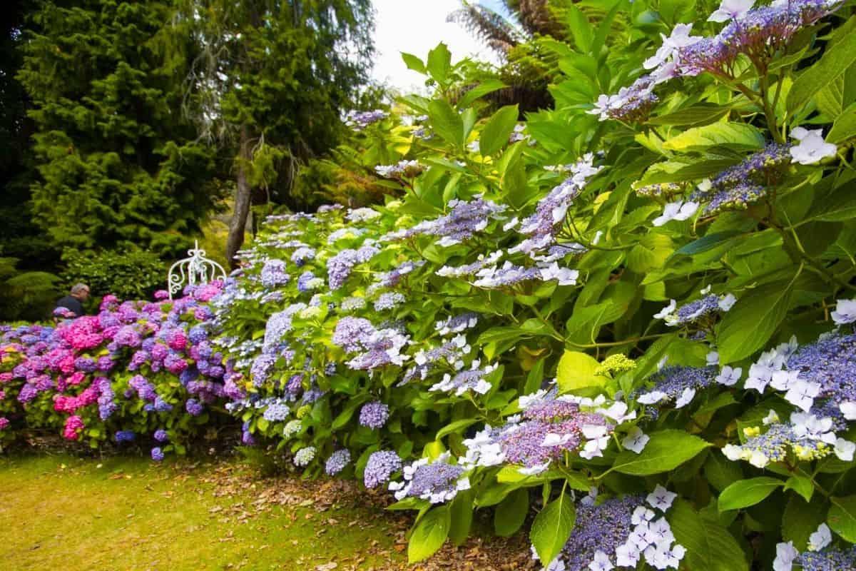 beautiful hydrangeas garden edge