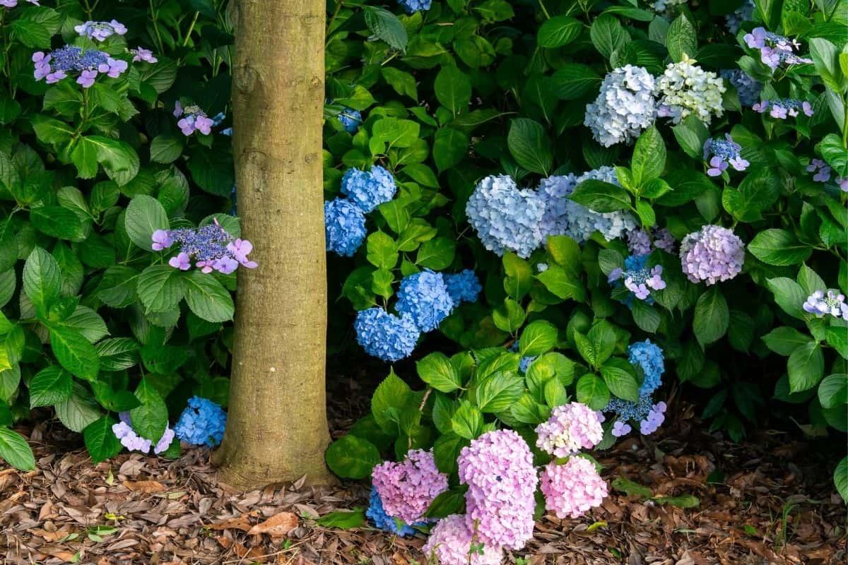 hydrangeas thriving under a tree