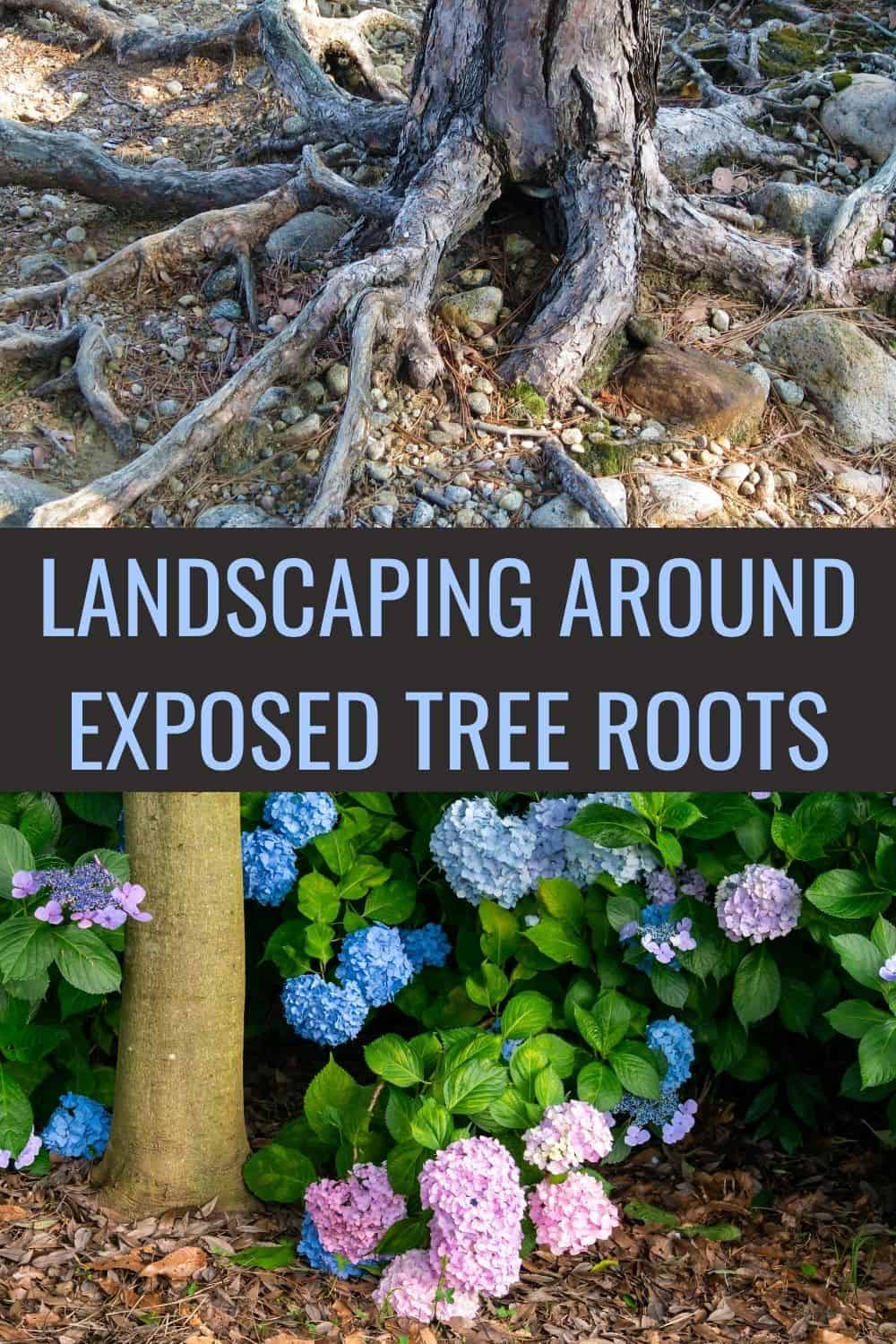 Landscaping around exposed tree roots
