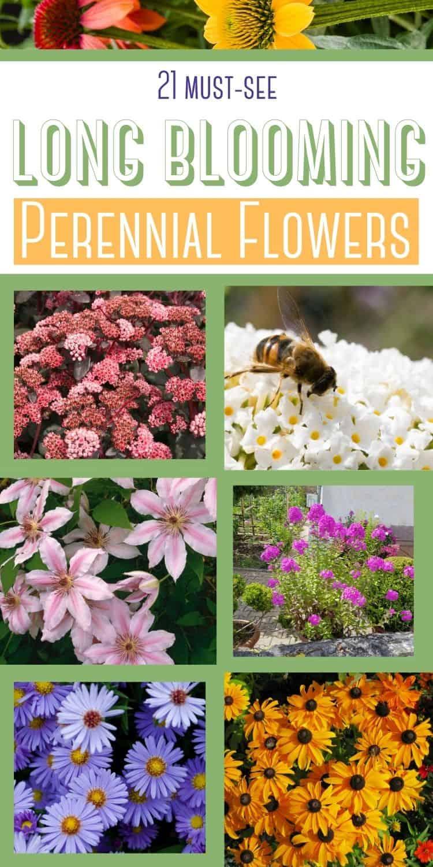 21 must see long blooming perennial flowers