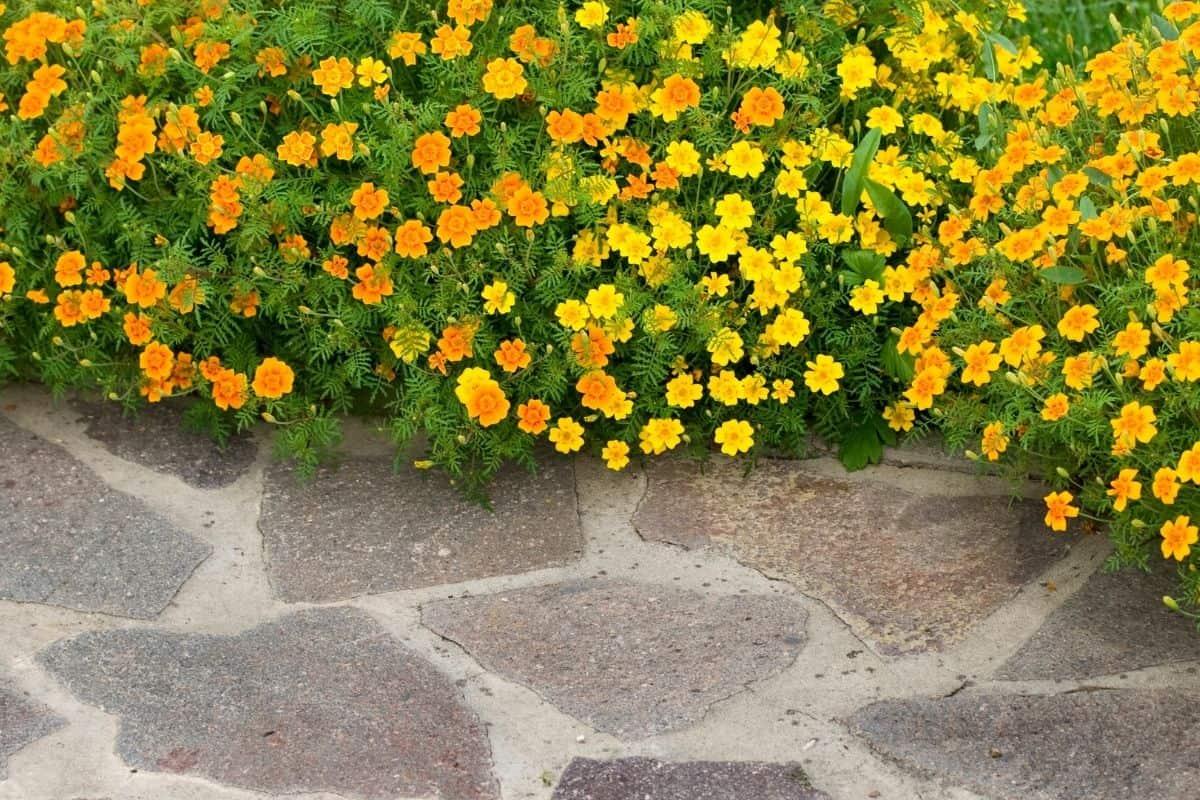 marigolds border next to walkway