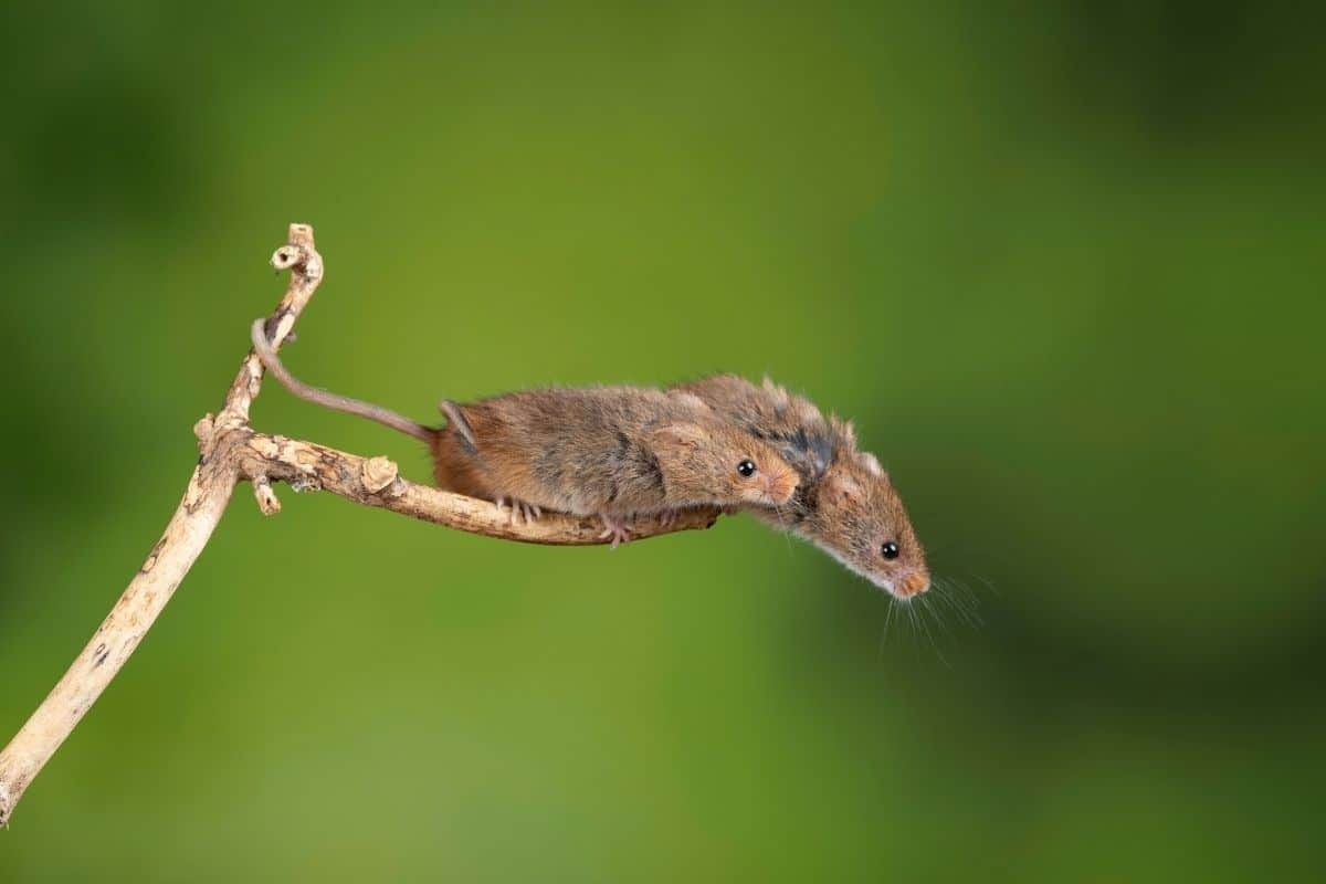 mice on a twig