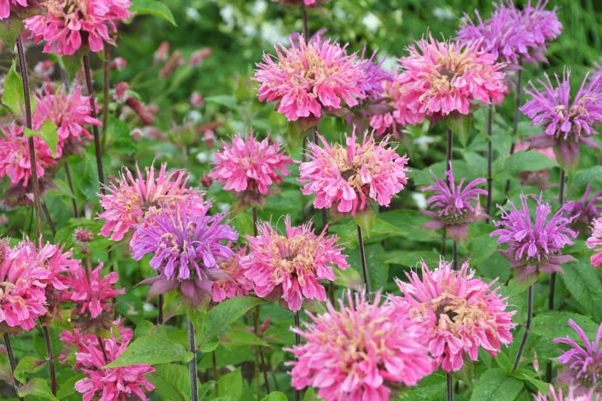 monarda flowers in shades of pink and purple