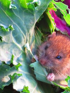 a mouse eating a brassica leaf