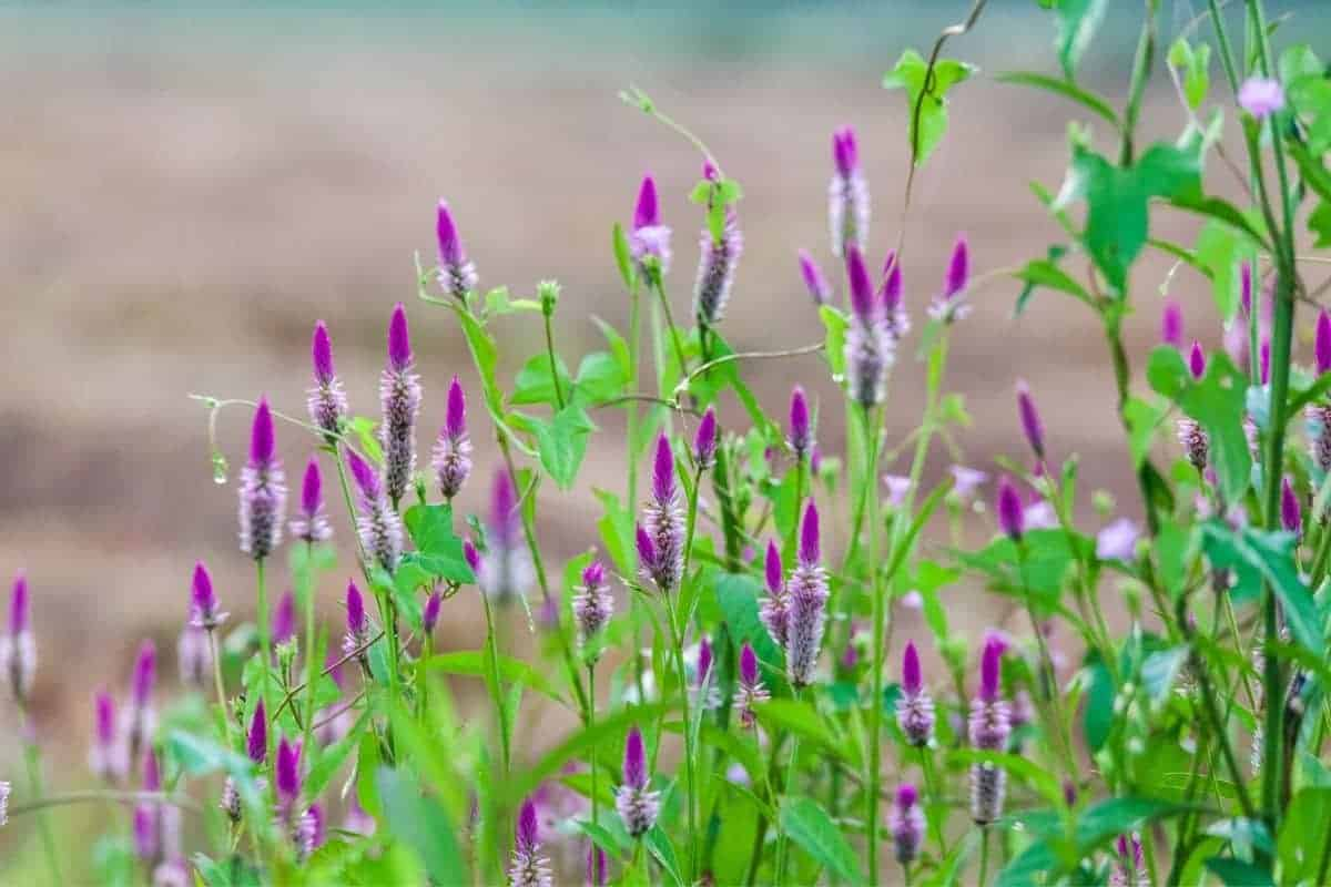 a field planted with obedient plant