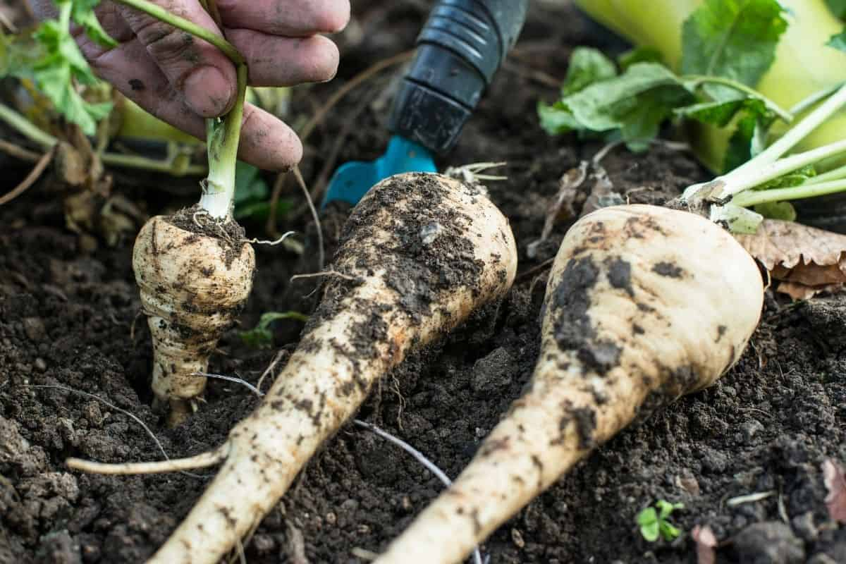 pulling parsnips from the garden