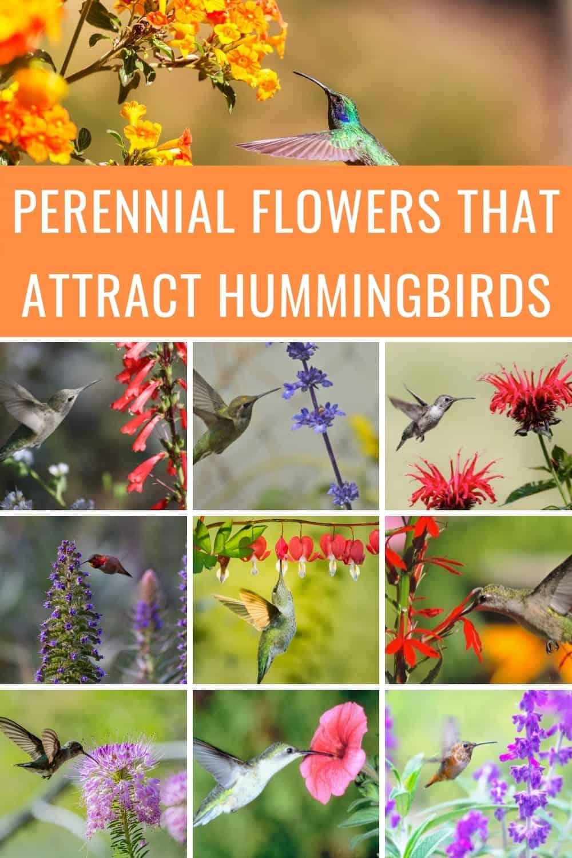 Perennial flowers that attract hummingbirds
