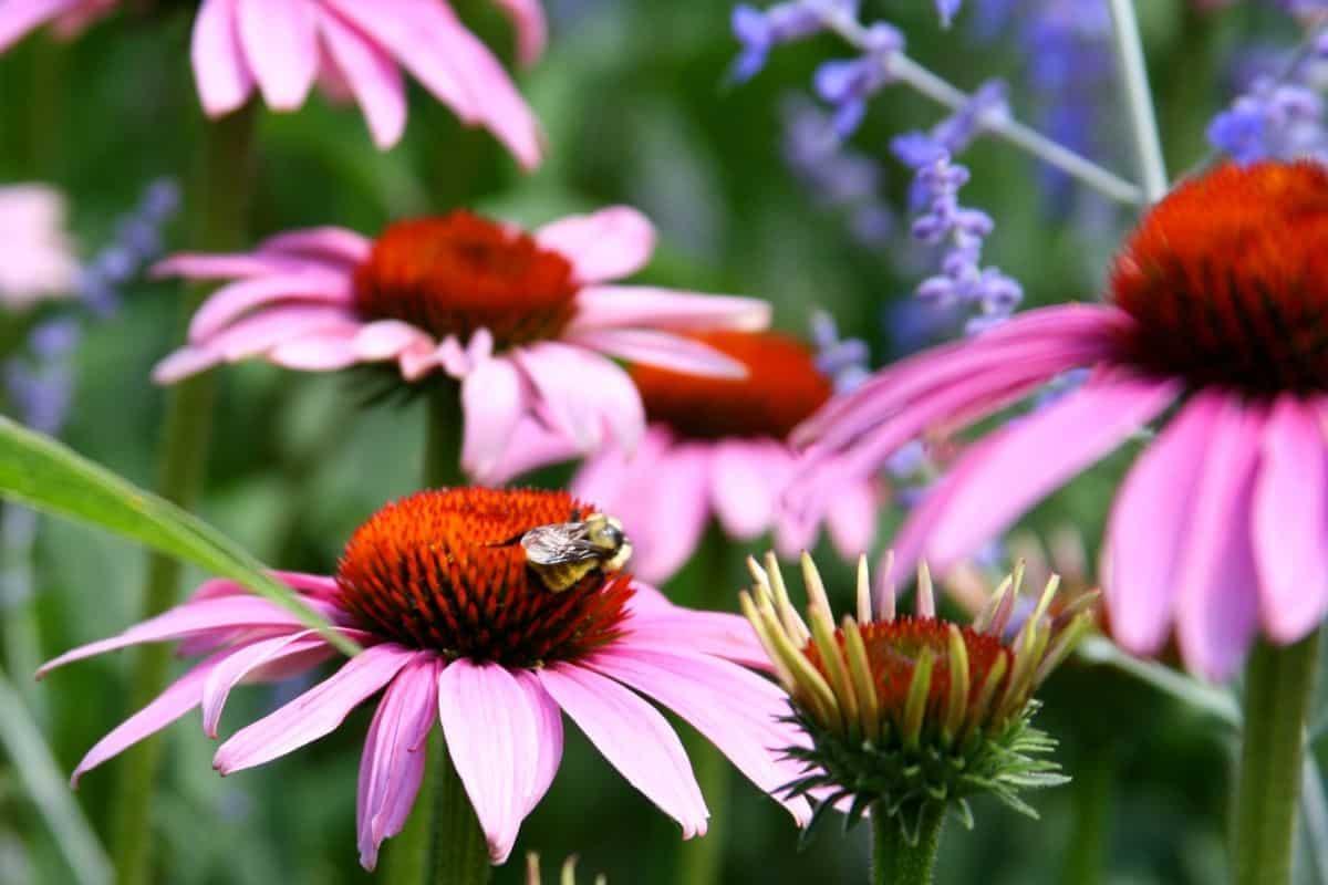 a bee enjoying a purple coneflower