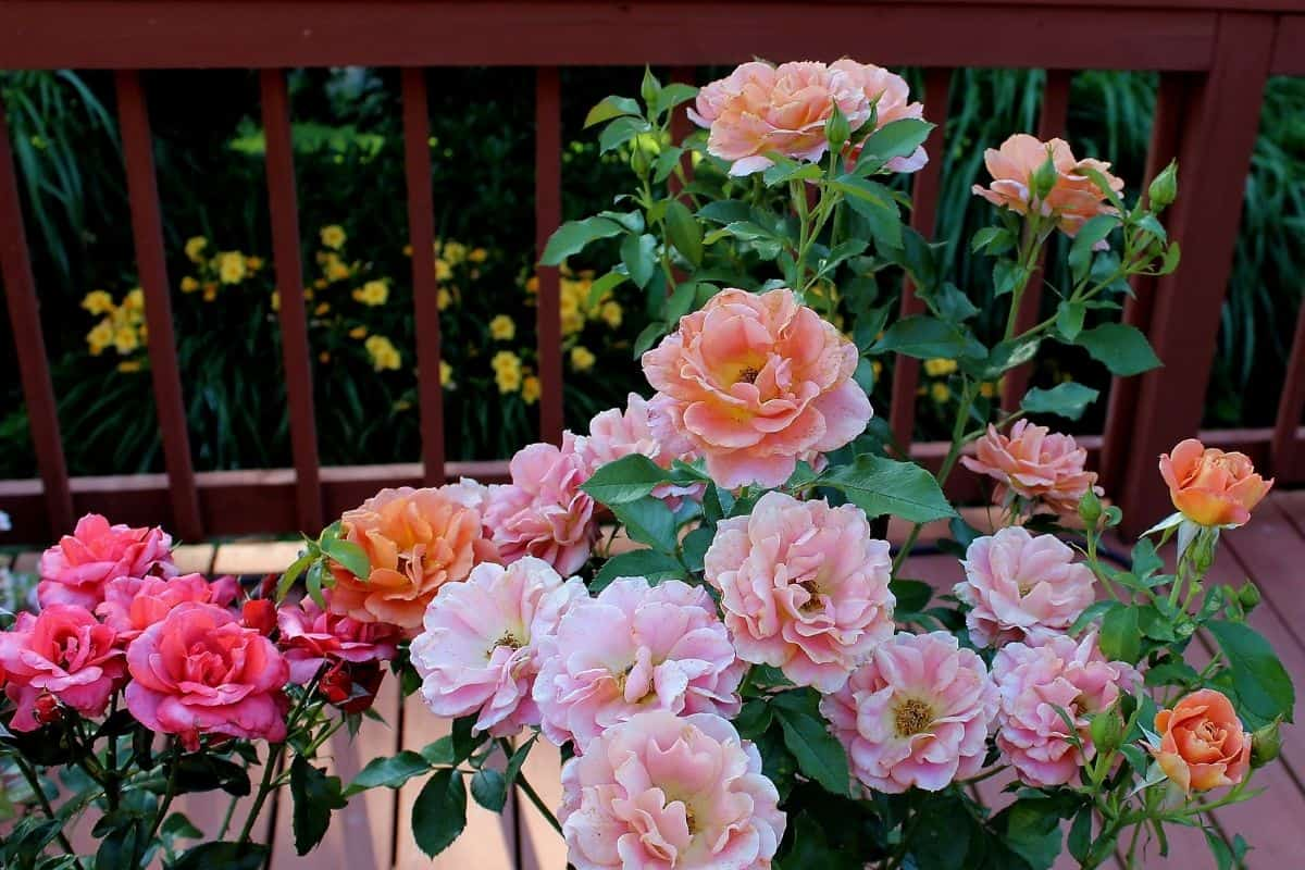 beautiful rose bushes with daylilies in the background