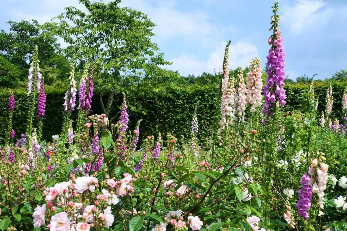 a beautiful garden with roses and foxgloves