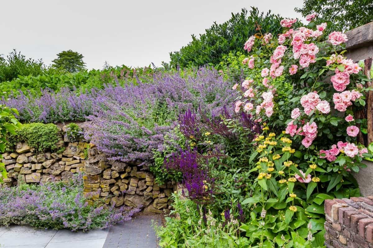 roses and salvia planted together