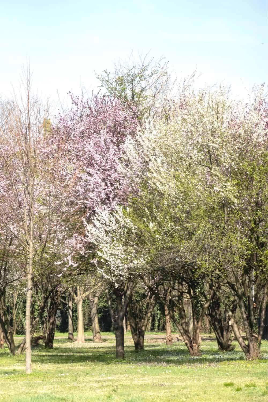 sandy cherry trees