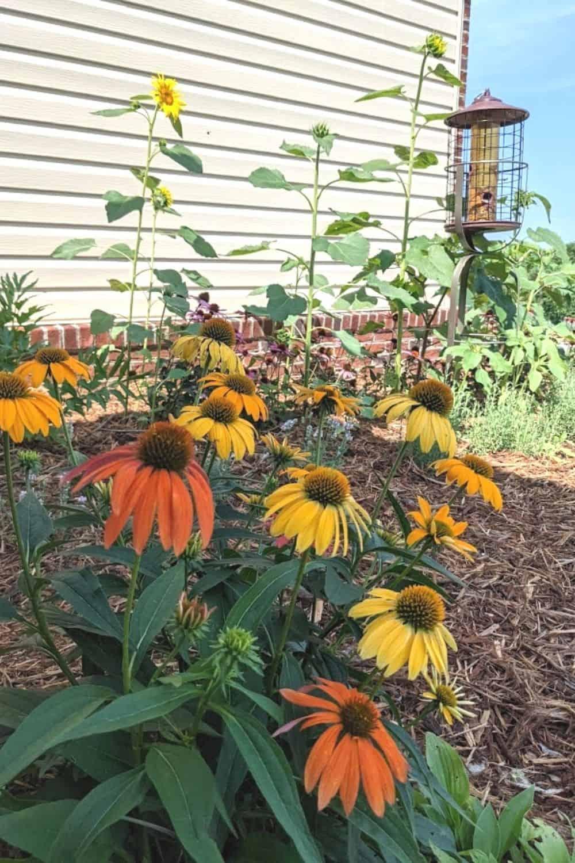coneflowers in yellow and orange shades