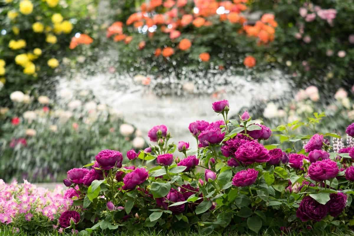 water fountain surrounded by roses