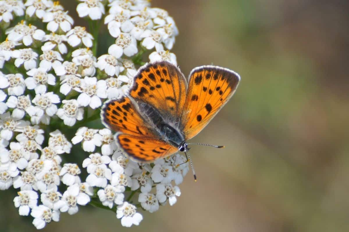a butterfly on white yarrow flowers
