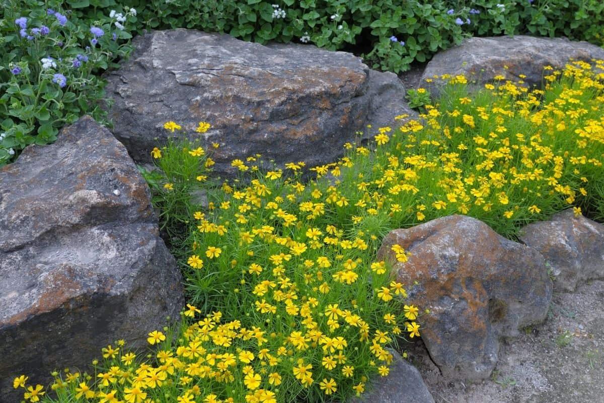 Yellow flowers between large rocks