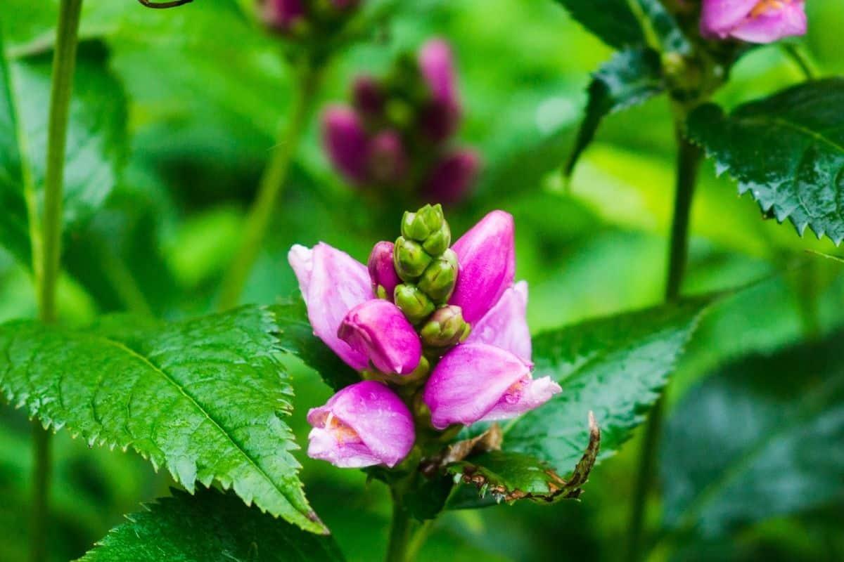 pink Chelone obliqua flowers