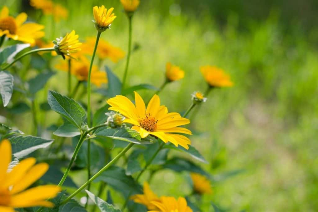 Heliopsis helianthoides flowers