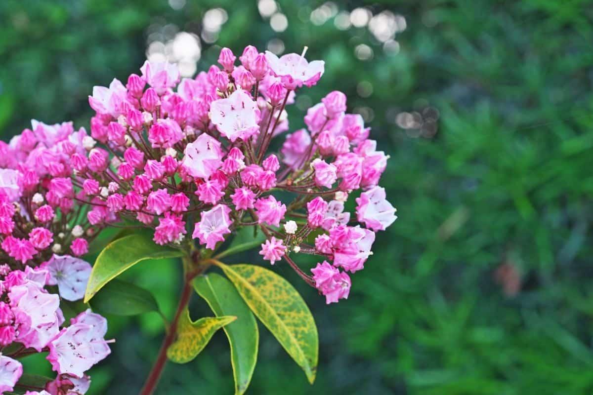 Kalmia angustifolia