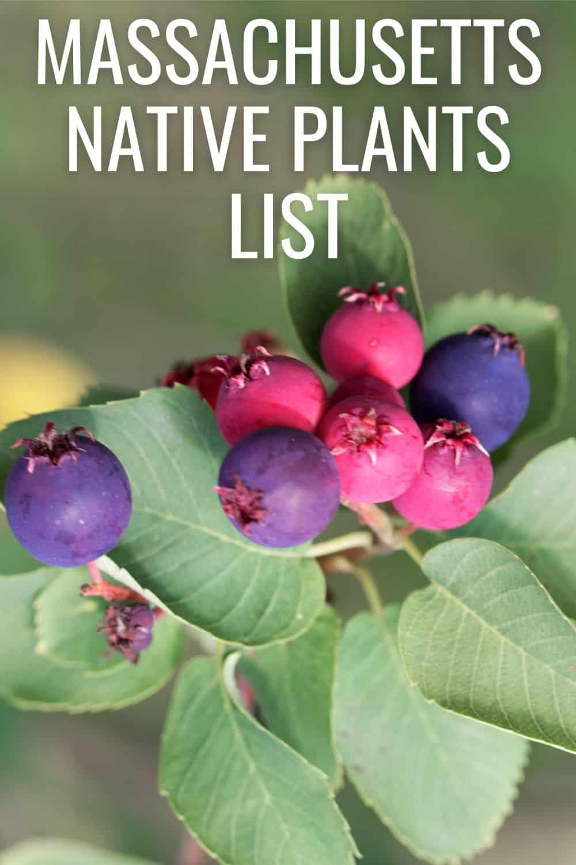 Massachusetts native plants list