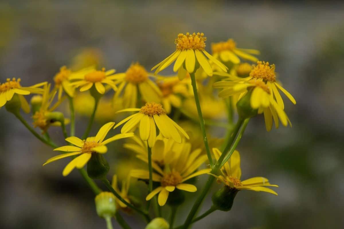 Packera obovata flowers