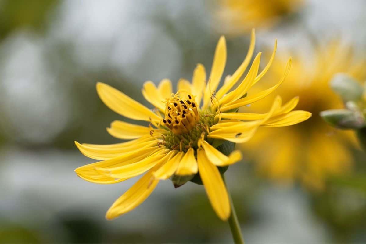 yellow Silphium integrifolium flowers