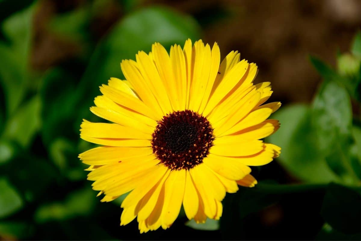 Sundancer daisy