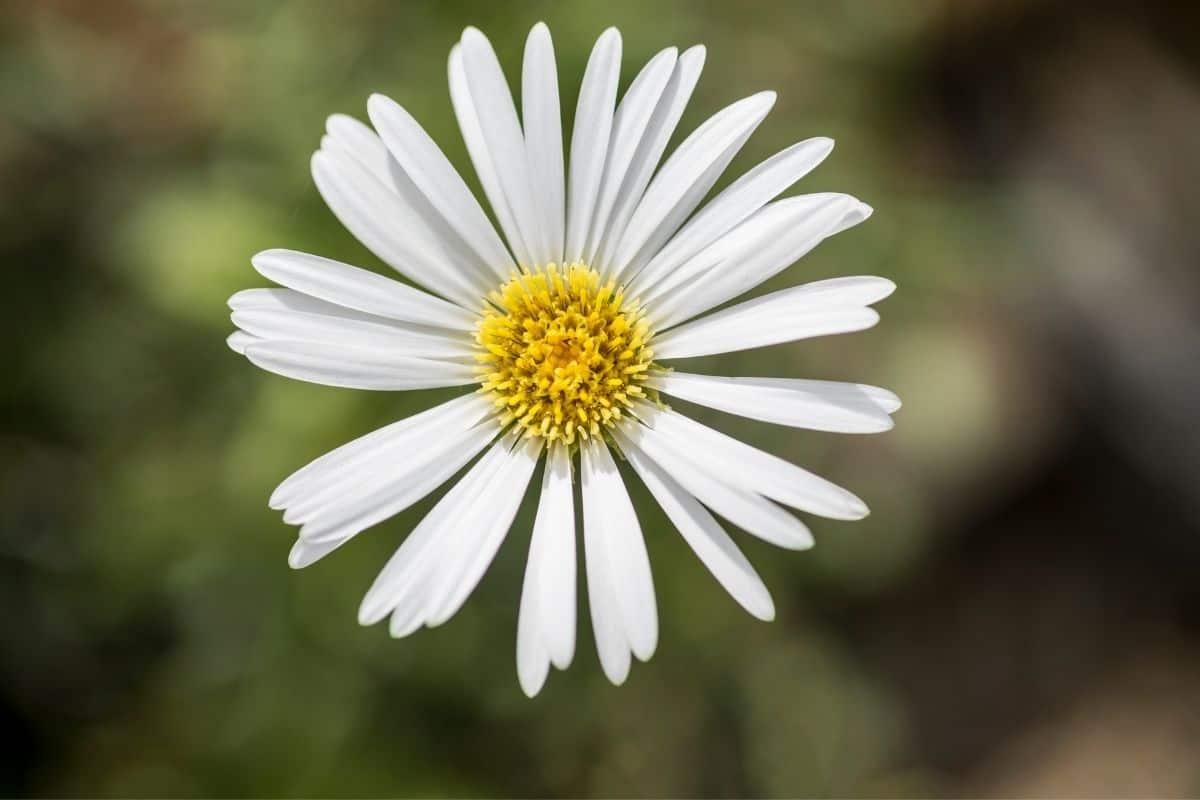 Townsendia hookeri - white daisy flower