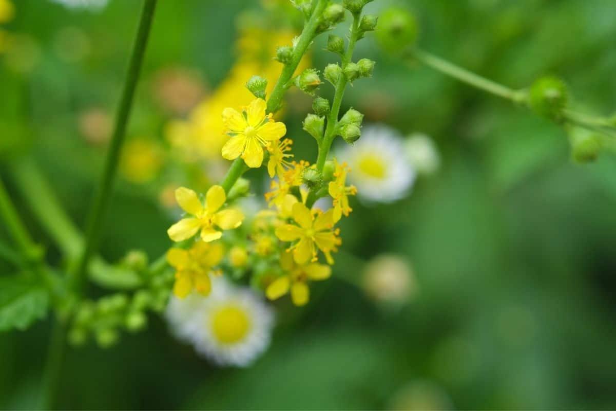 agrimonia parviflora flowers