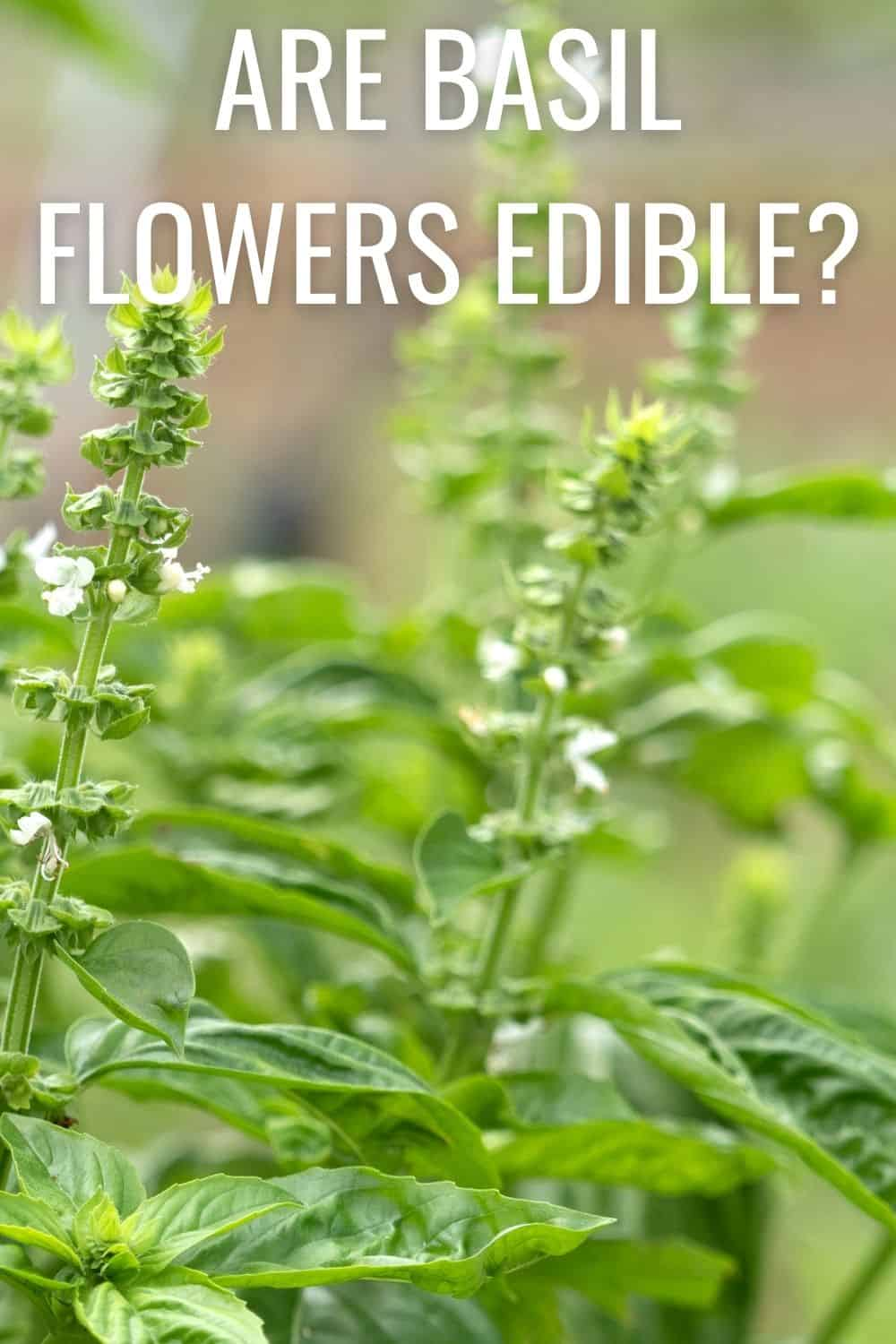 Are basil flowers edible?