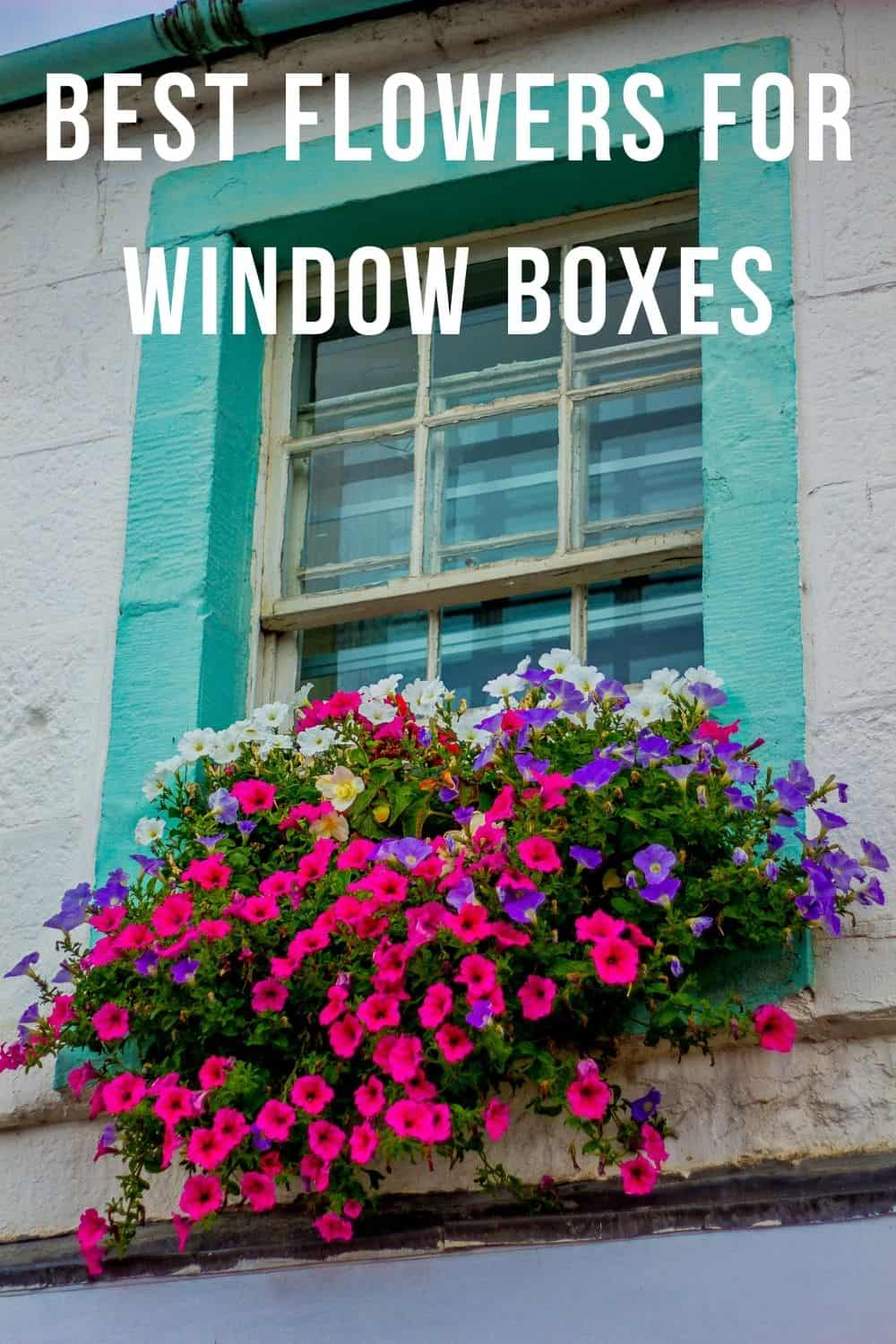 Best flowers for window boxes