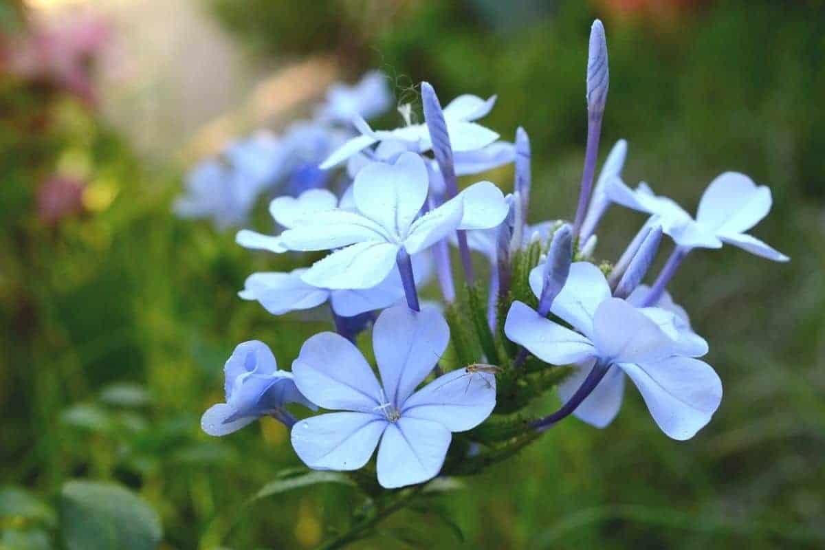 blue phlox flowers