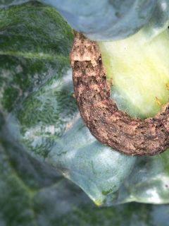 brown cutworm