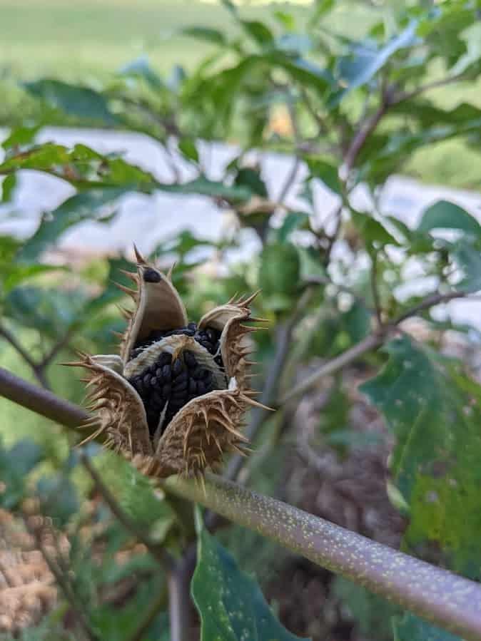dried jimsonweed seedpod that burst open
