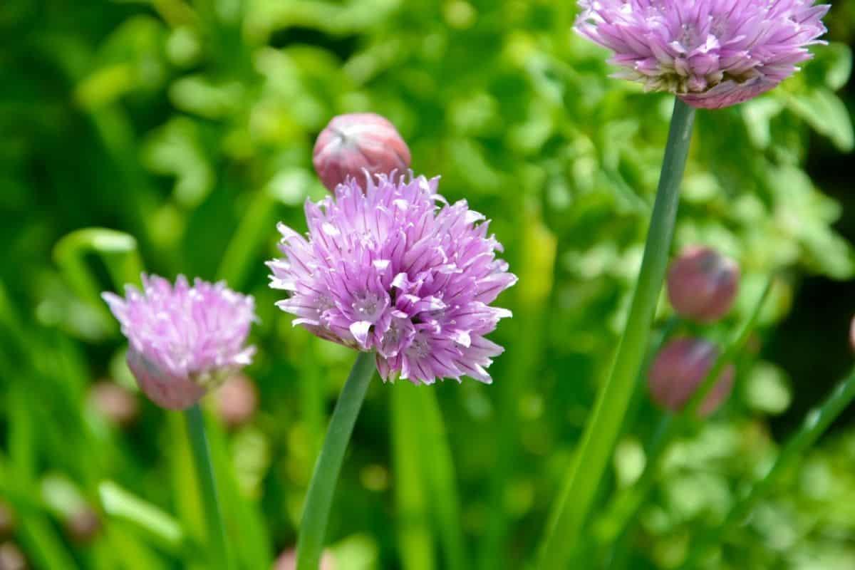purple onion chive flowers
