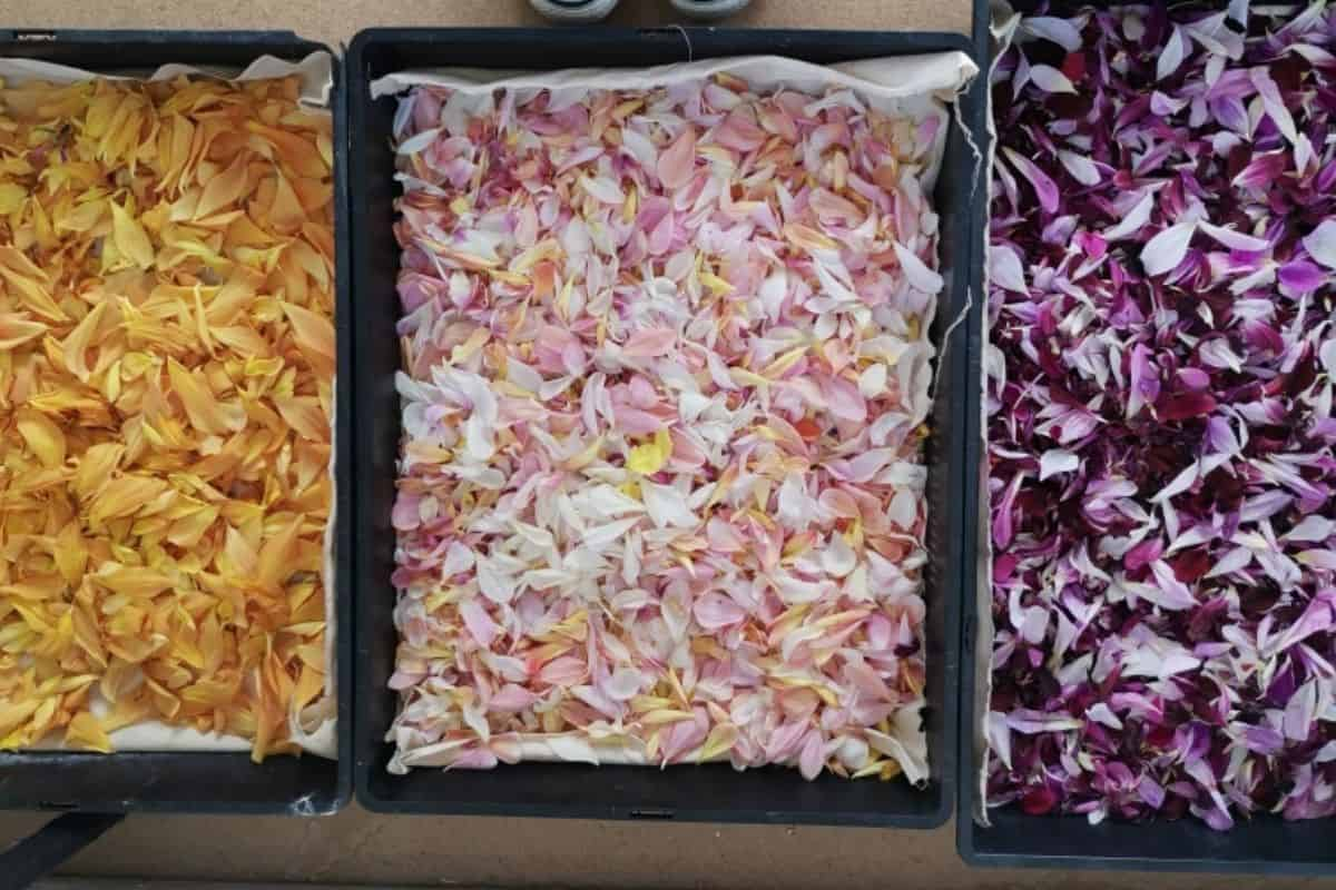 flower petals ready to dry