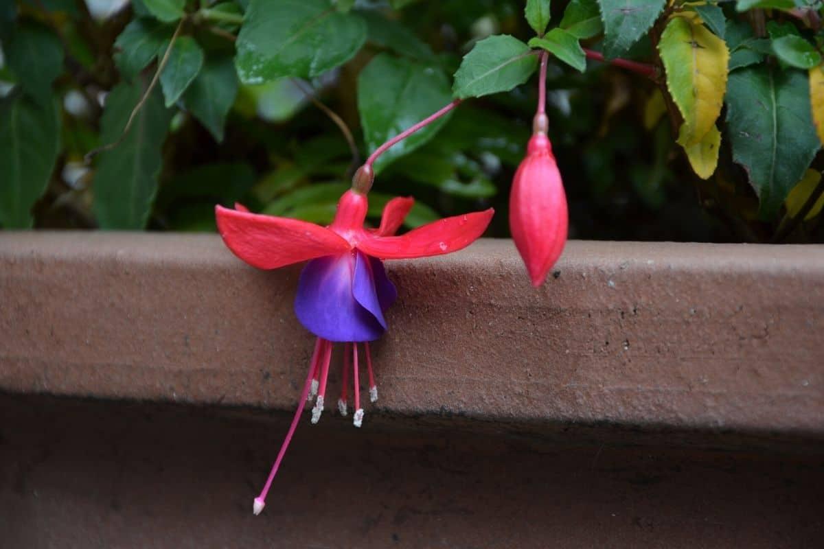fuchsia flowers hanging from a window box