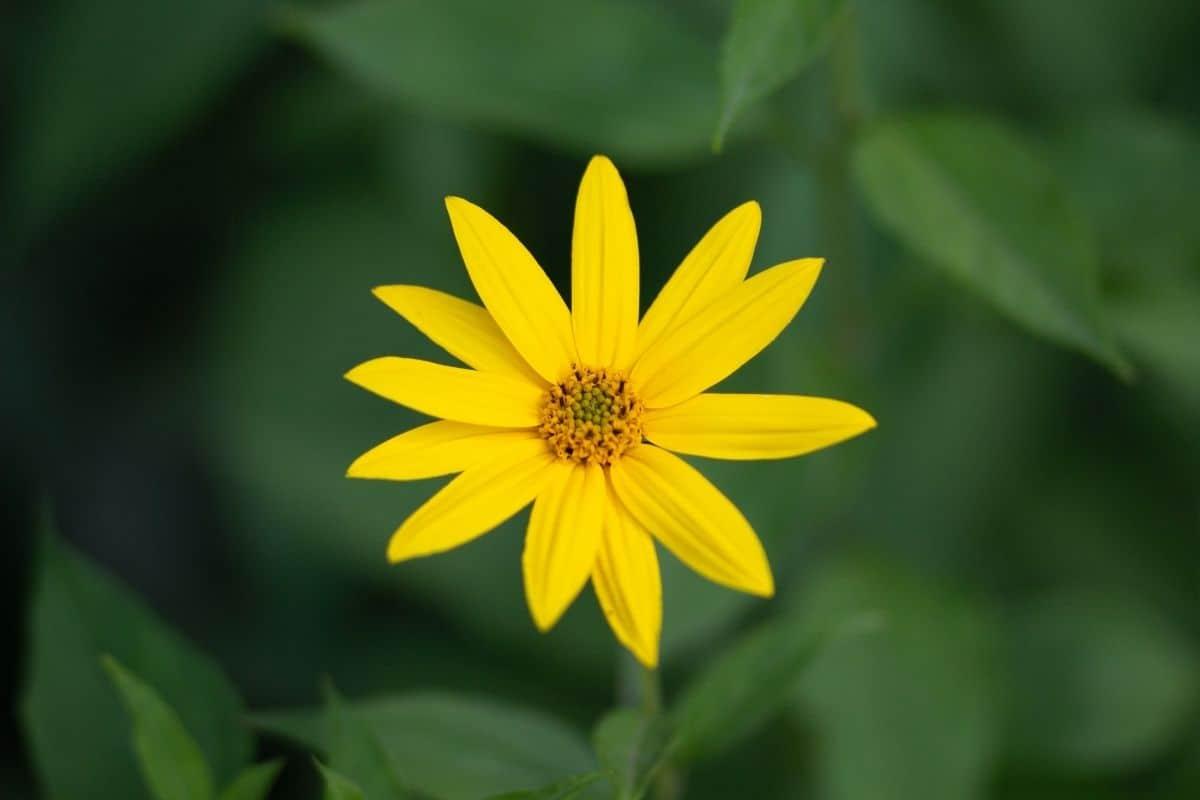helianthus divaricatus flower